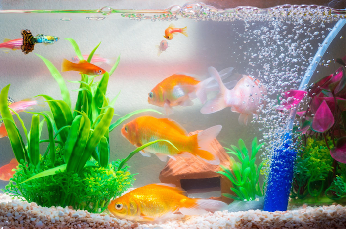 goldfish and other tropical fish in aquarium