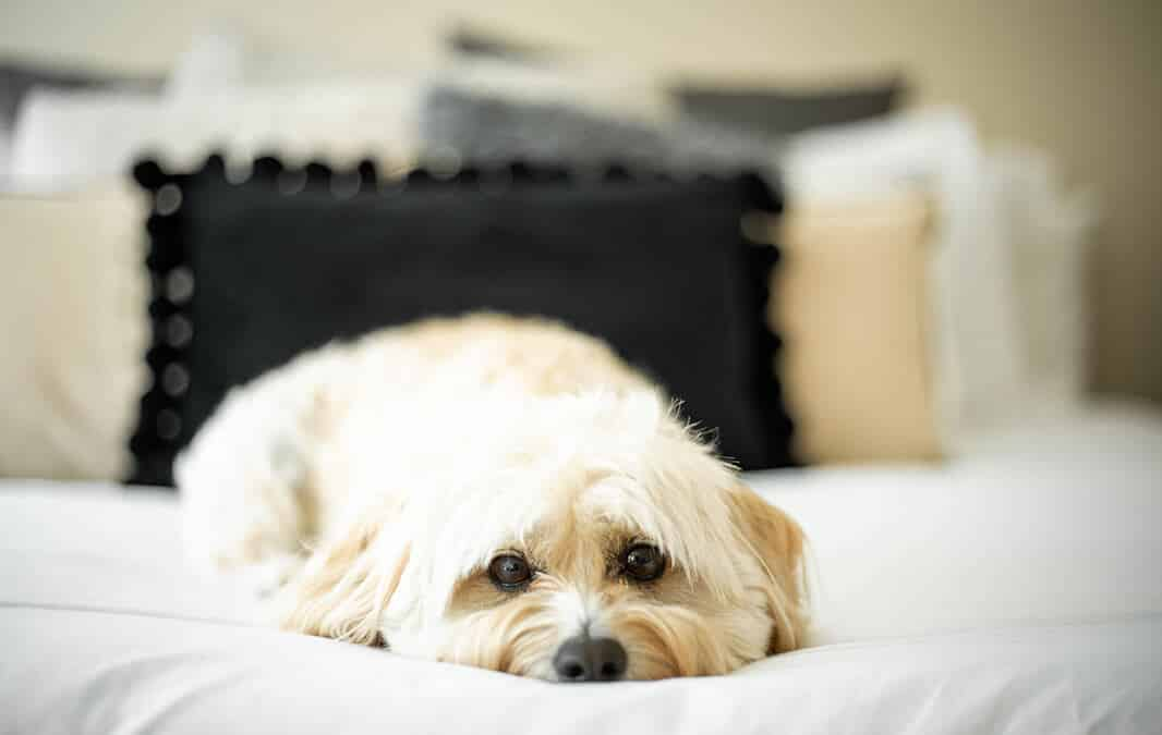 Dog lying on white bed with pillows