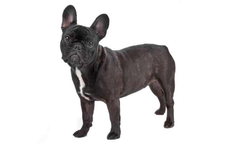 french bulldog faq