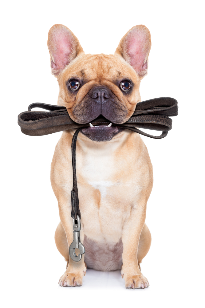 leash dog ready for a walk