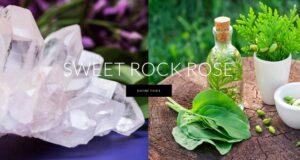 Sweet Rock Rose