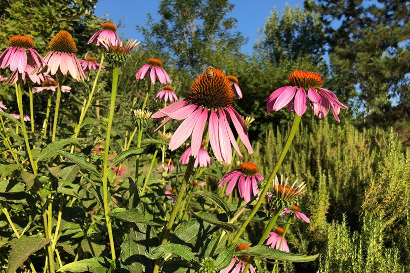 echinacea-flowers