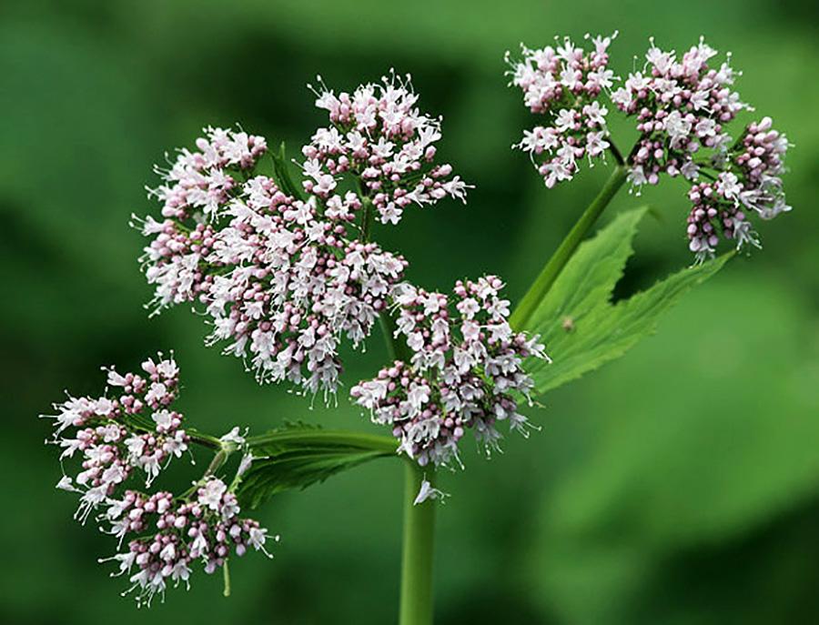 Valerian Flowers