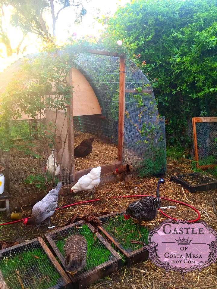 180406 Chicken coop with chicken salad bar L