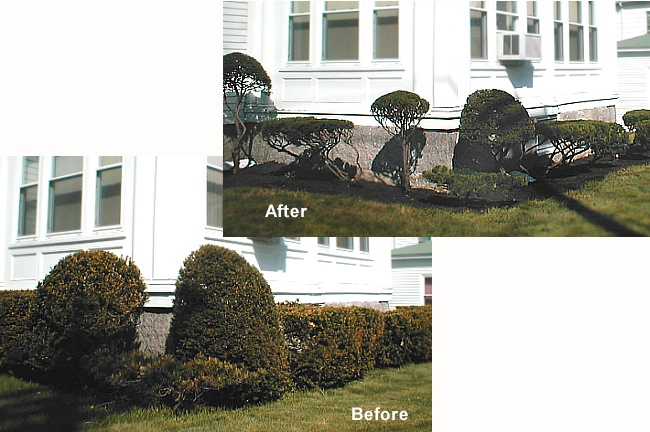 Pruning - Trimming Shrubs