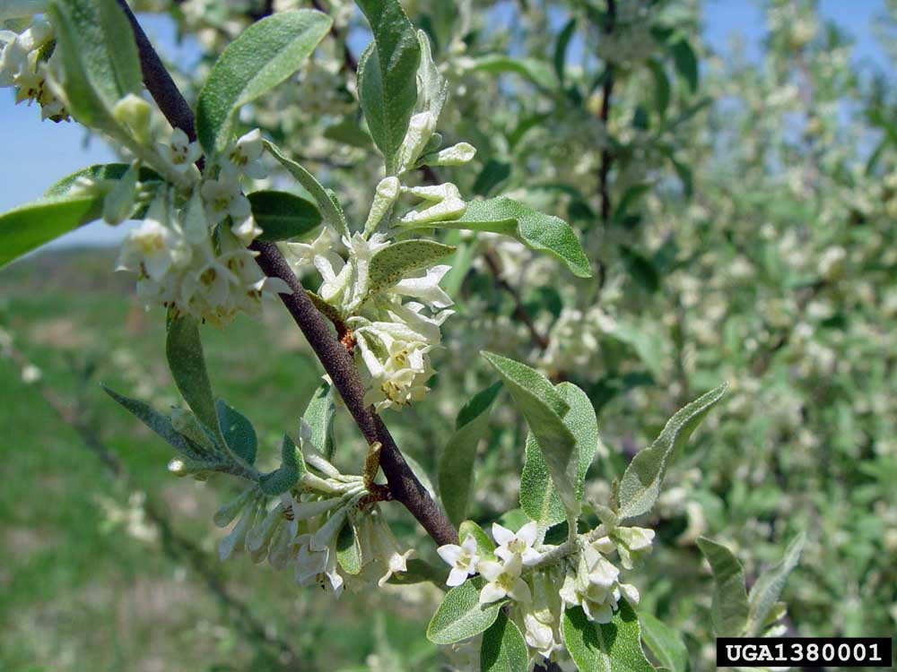 File name: Autumn-Olive-Chris-Evans-University-of-Illinois-Bugwood.org-1.jpg