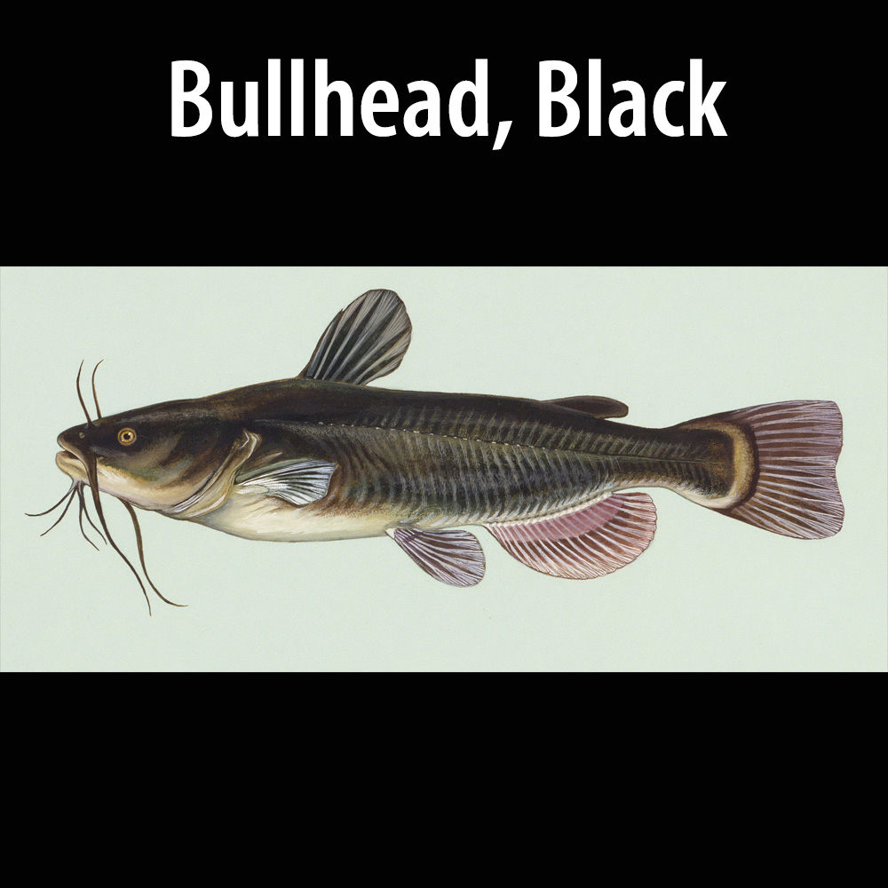 Bullhead Black