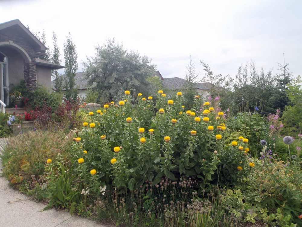 Bighead-Knapweed-Daniel-Laubhann-City-of-Edmonton-2.jpg