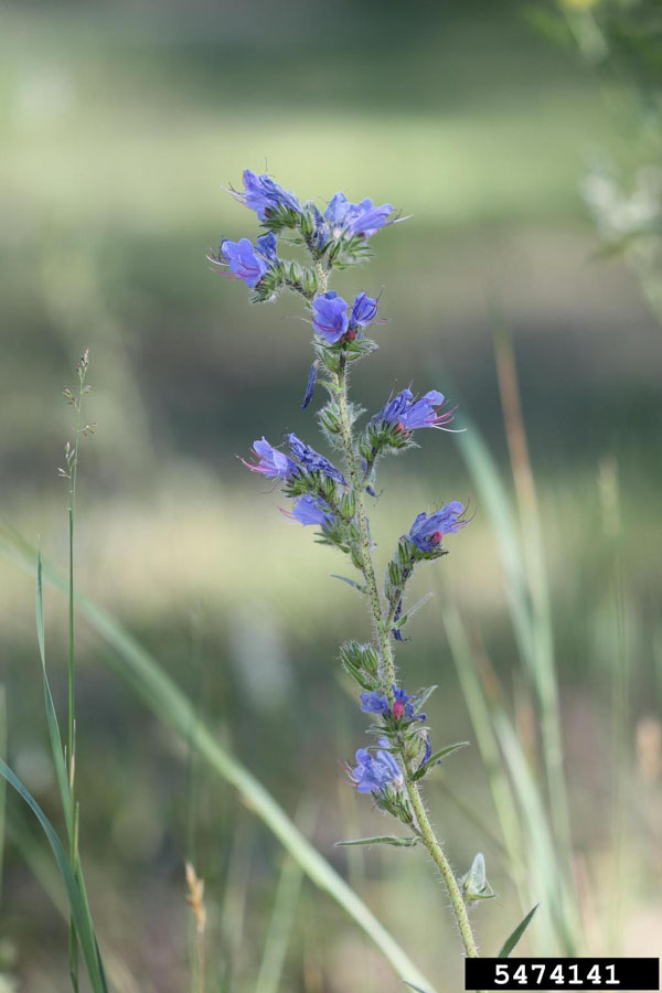 Blueweed Flower 2 Rob Routledge, Sault College, Bugwood.org