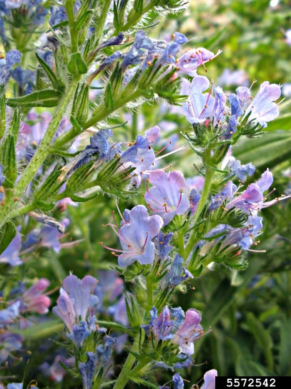 Blueweed Flowers Ansel Oommen, Bugwood.org