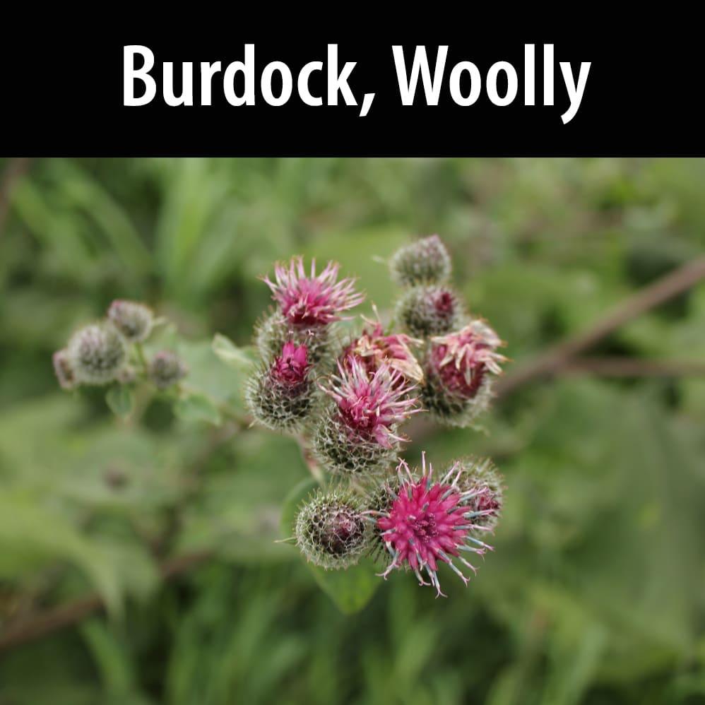 Burdock, Woolly