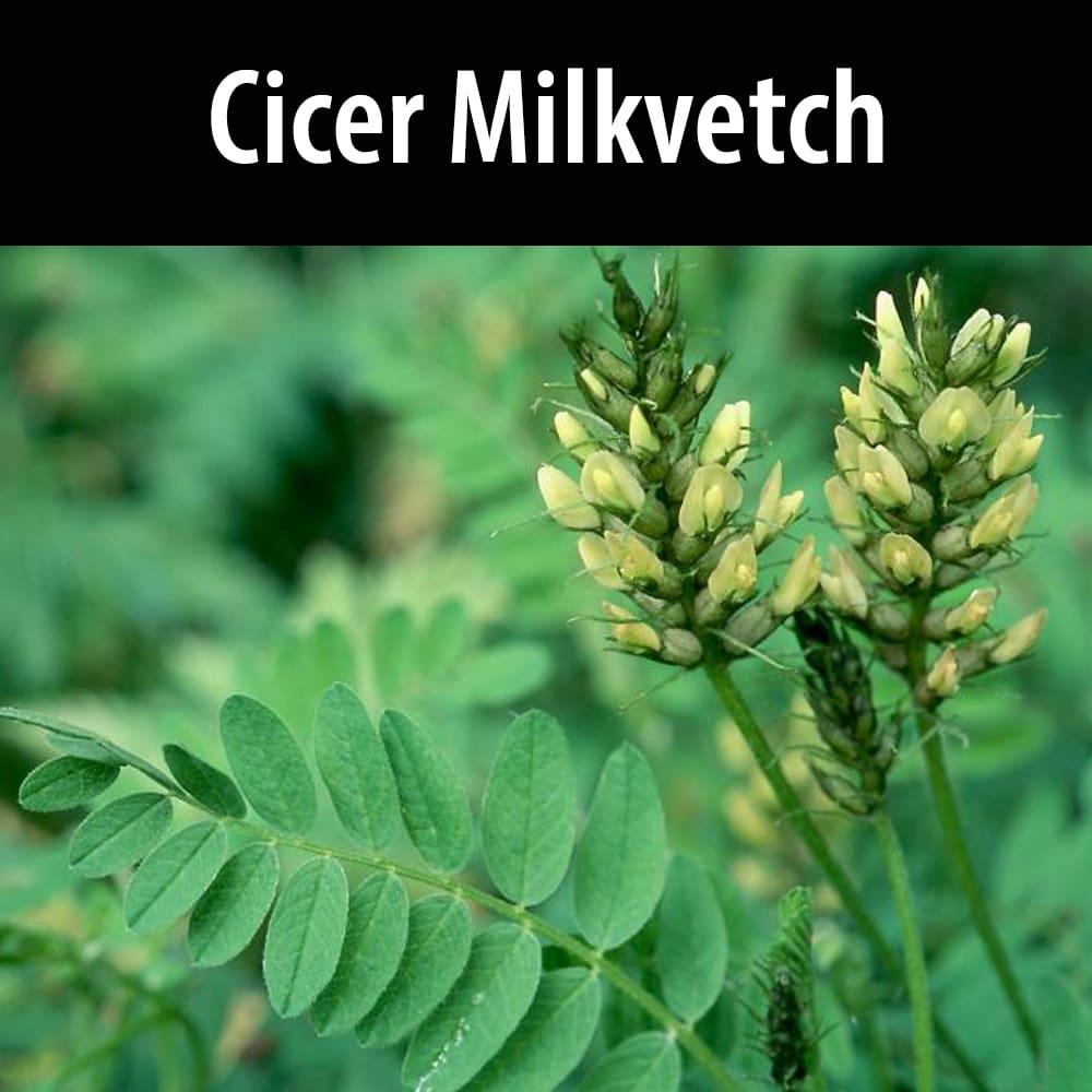 Cicer milkvetch
