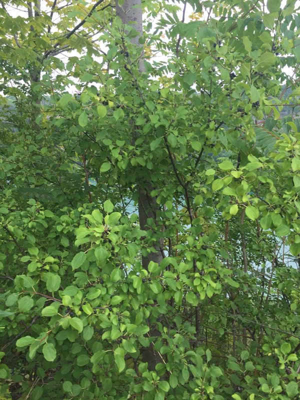 Common Buckthorn Photo credit Schumacher