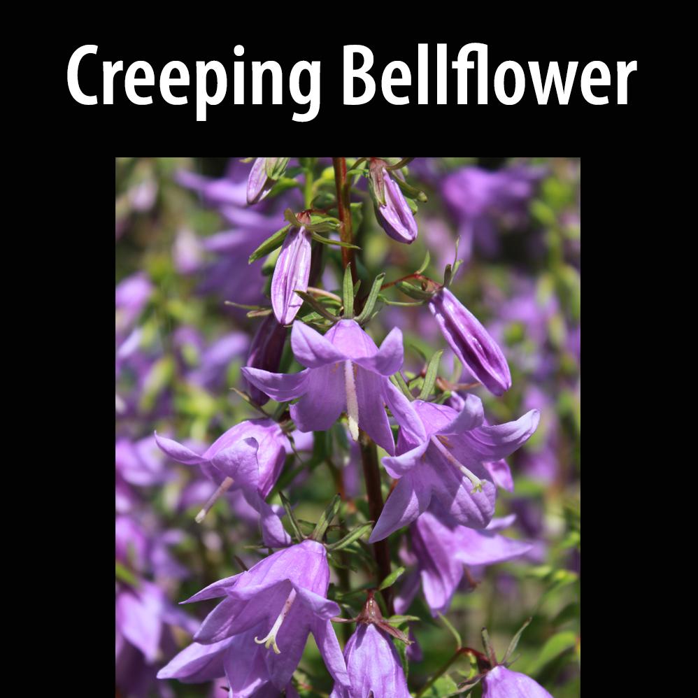 Creeping bellflower