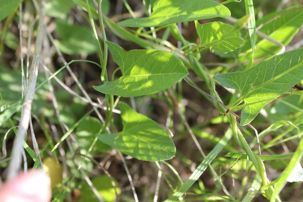 Field Bindweed 2012 (1)