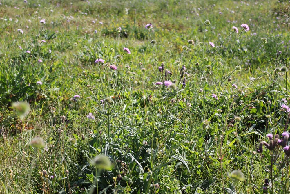 Field Scabious Sept 2011 (3)