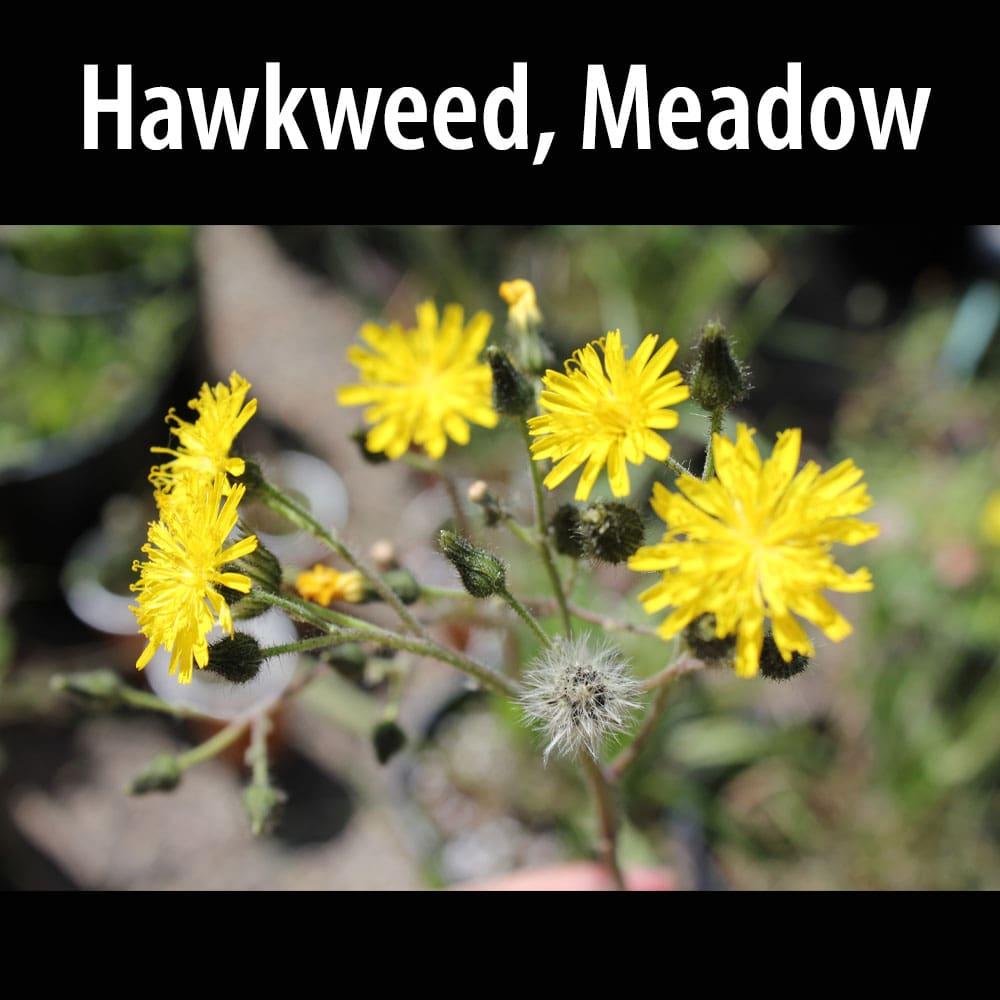 Hawkweed Meadow