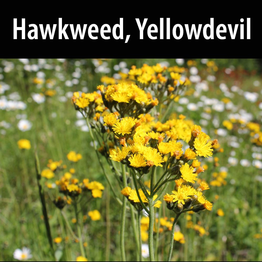 Hawkweed, Yellowdevil