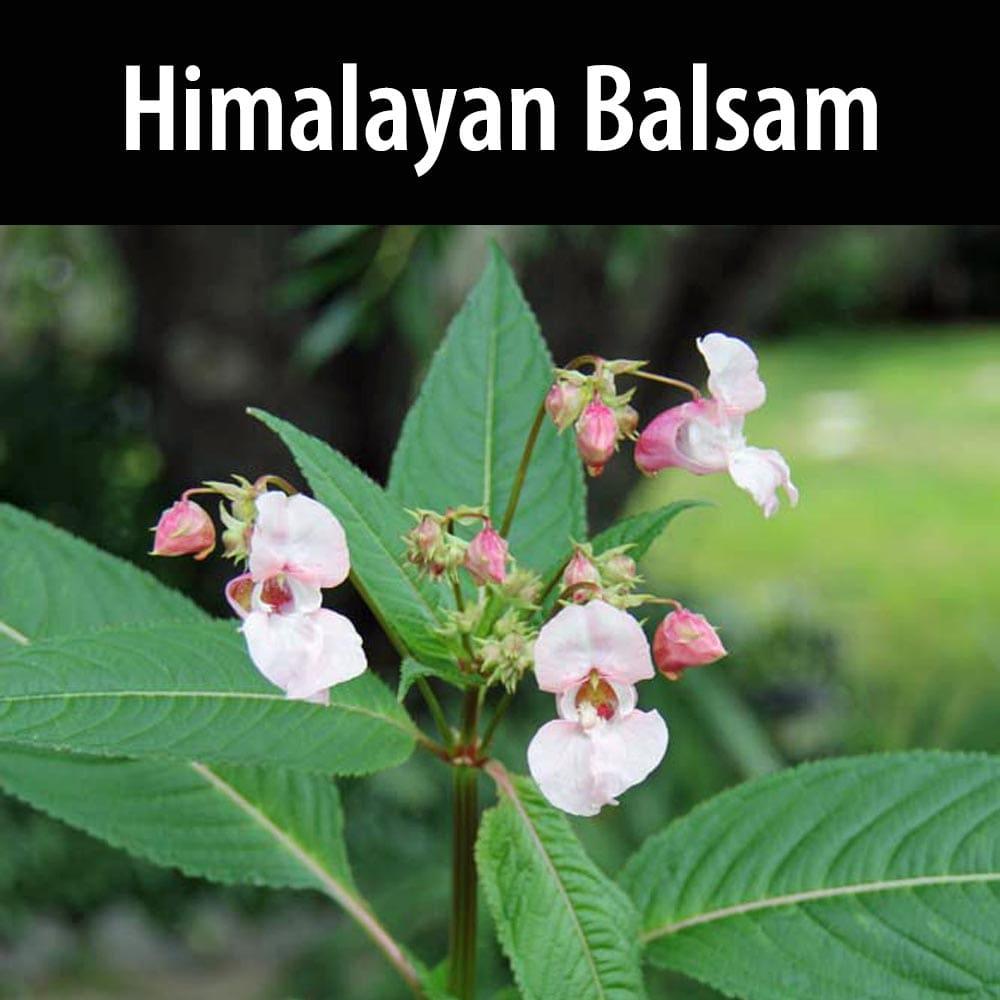 Himalayan Balsam-1
