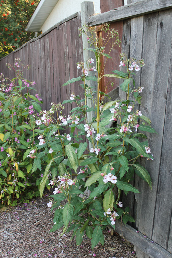 Himalayan Balsam escaping fence