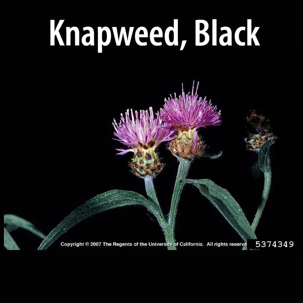 Knapweed Black