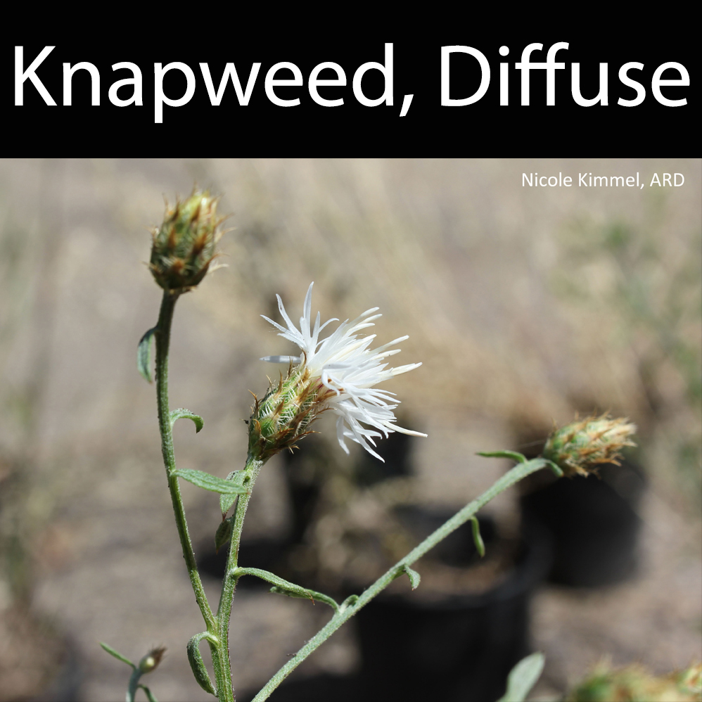 Knapweed, Diffuse
