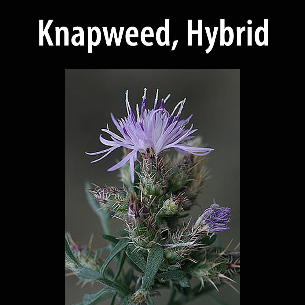 Knapweed, Hybrid