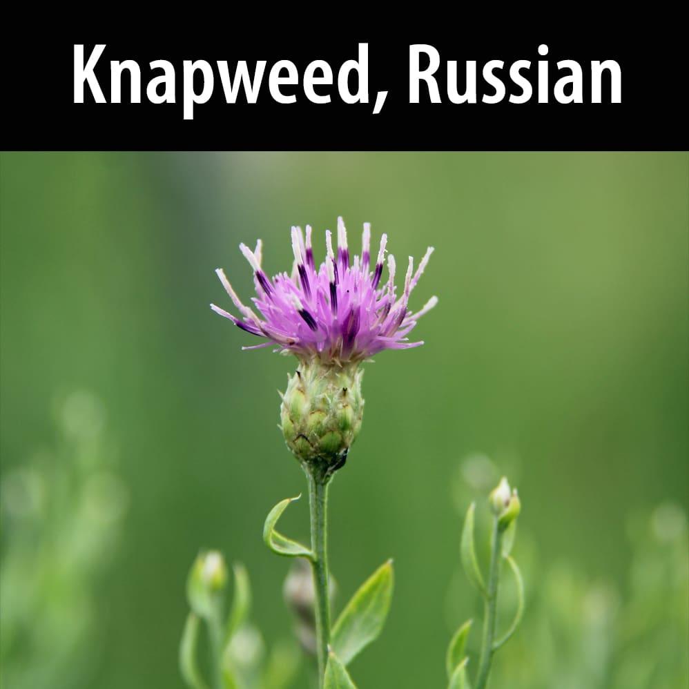 Knapweed, Russian