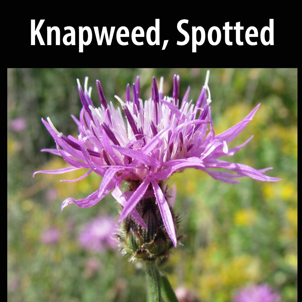 Knapweed, Spotted