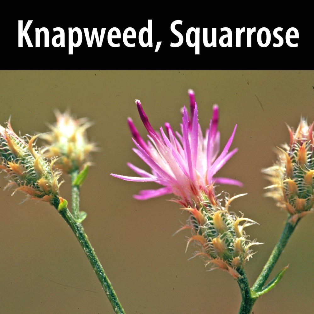 Knapweed, Squarrose