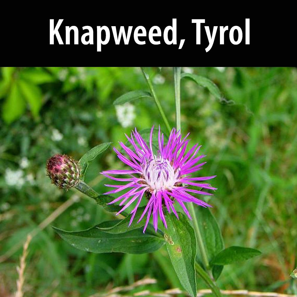 Knapweed, Tyrol