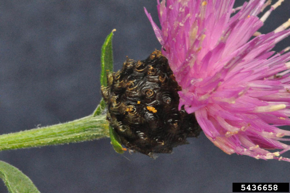 Knapweed, brown Bruce Ackley, The Ohio State University, Bugwood.org(4)