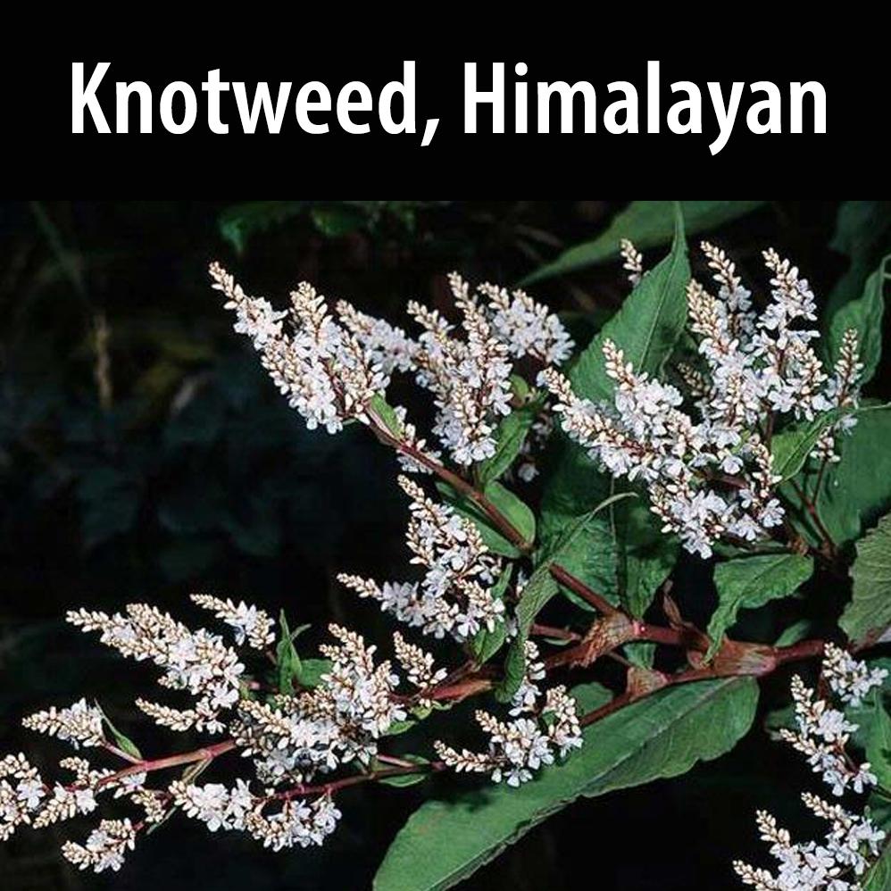 Knotweed, Himalayan