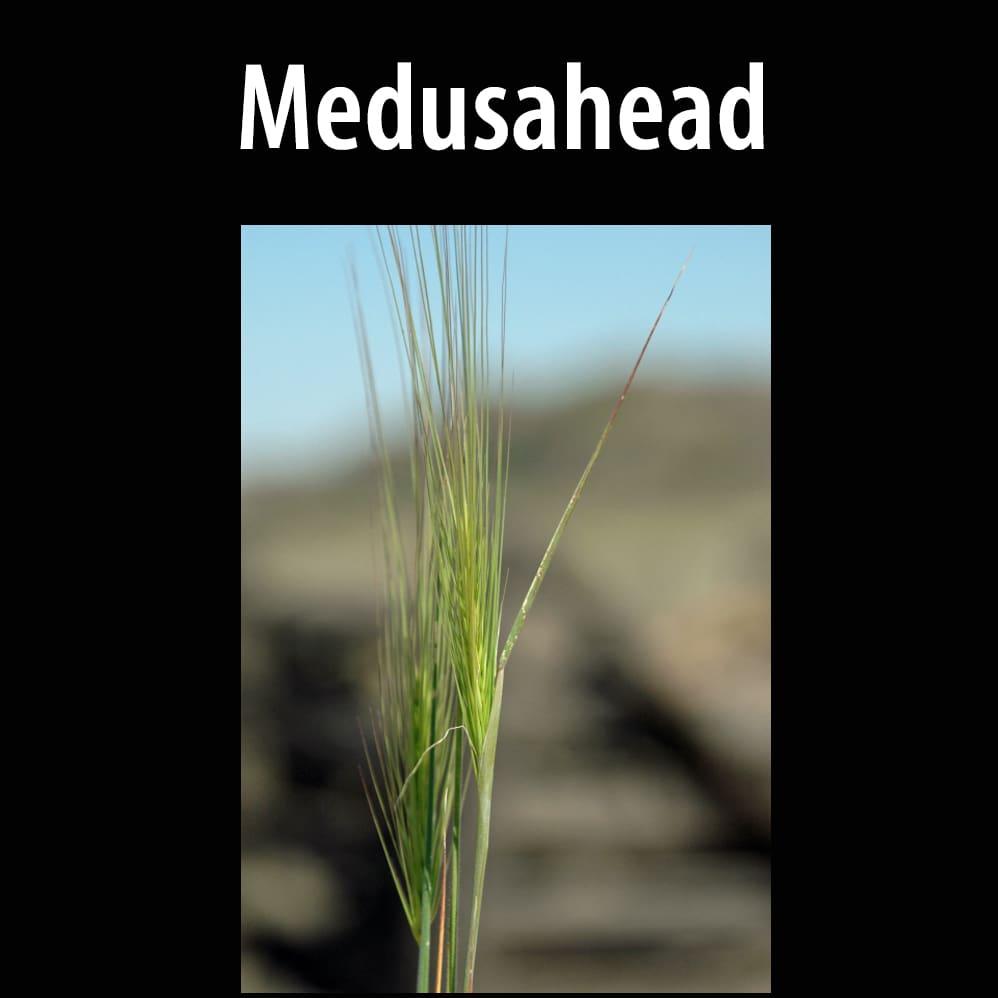 Medusahead