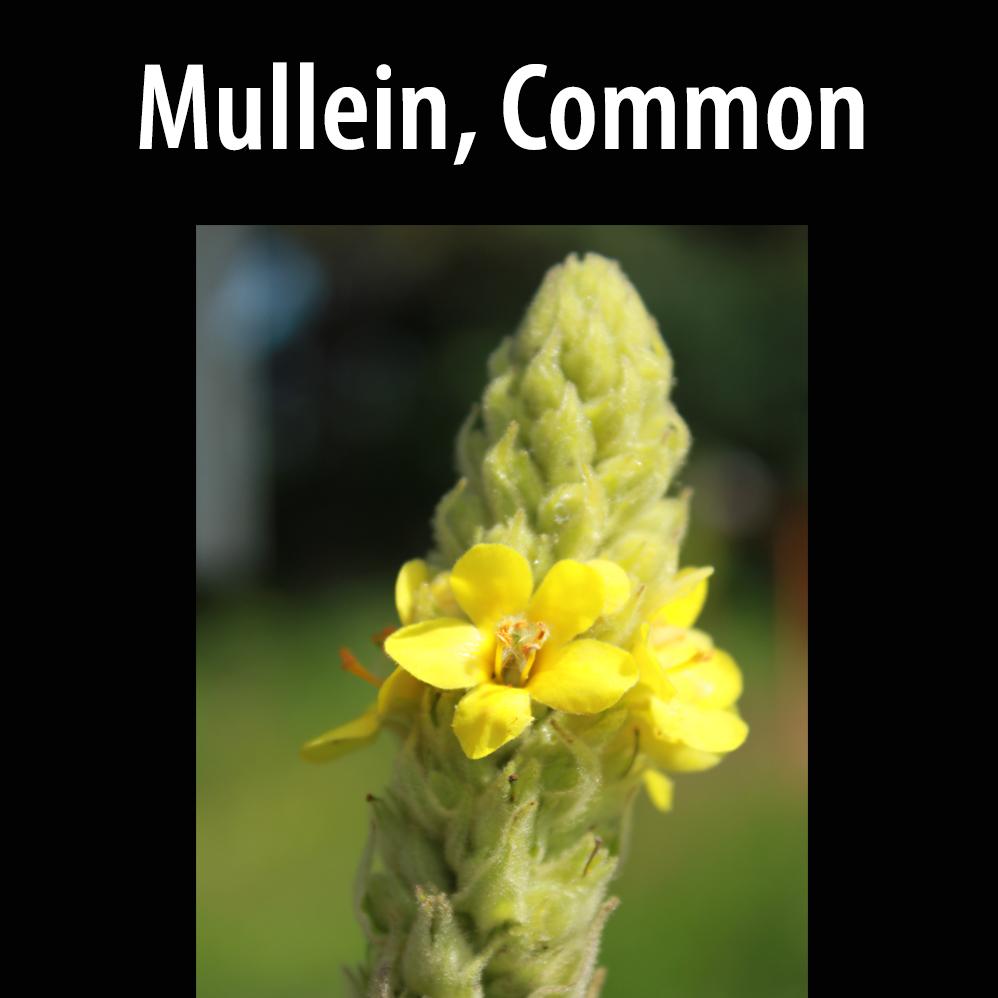 Mullein, Common