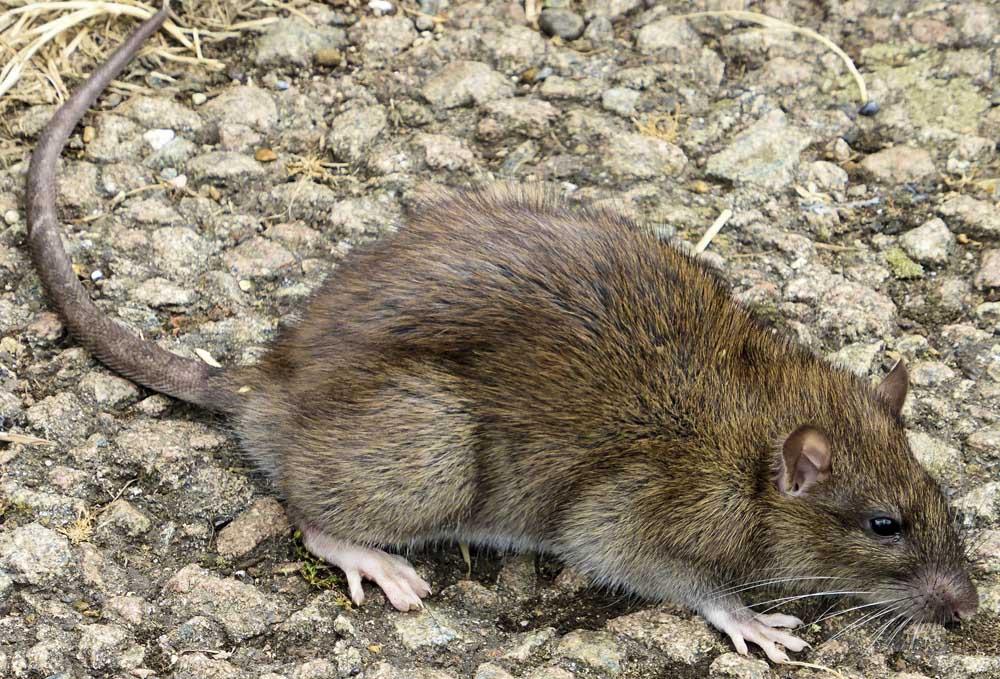 Norway Rat2