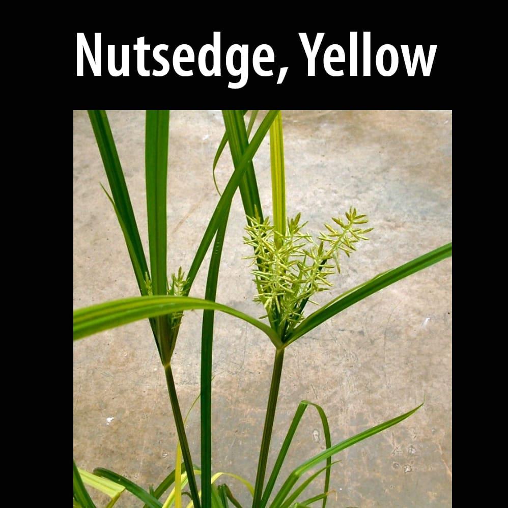 Nutsedge, Yellow