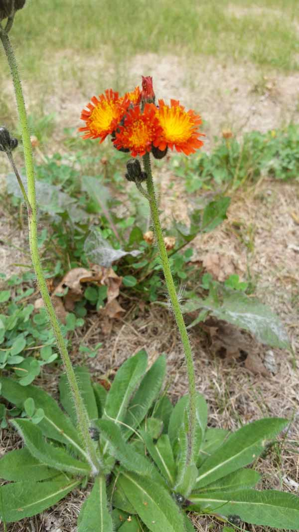 Orange hawkweed Marko Skendzic City of Edmonton (3)