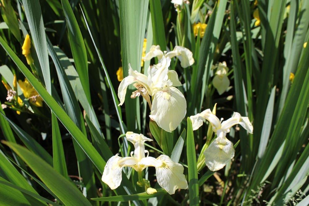 Pale Yellow Iris