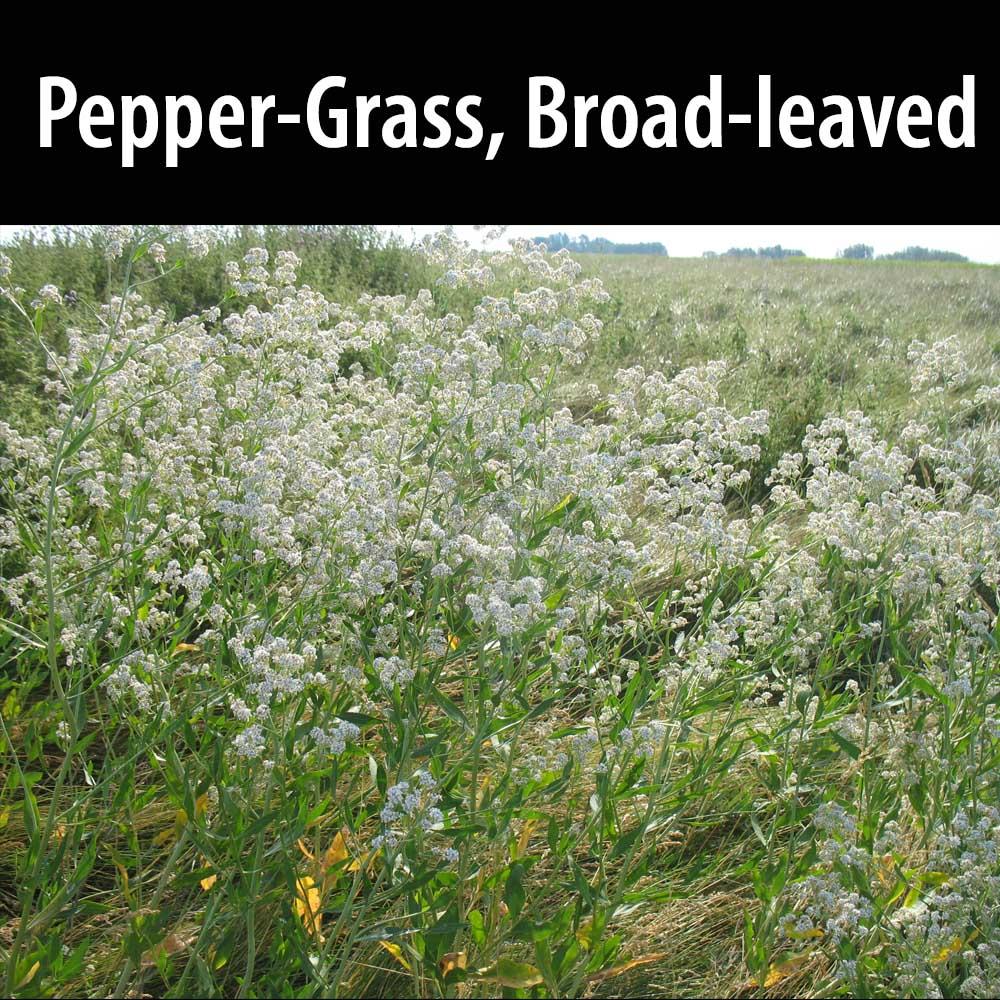 Pepper-grass, Broad-leaved