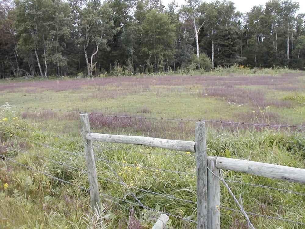 Red-barstia-in-pasture--Paulson