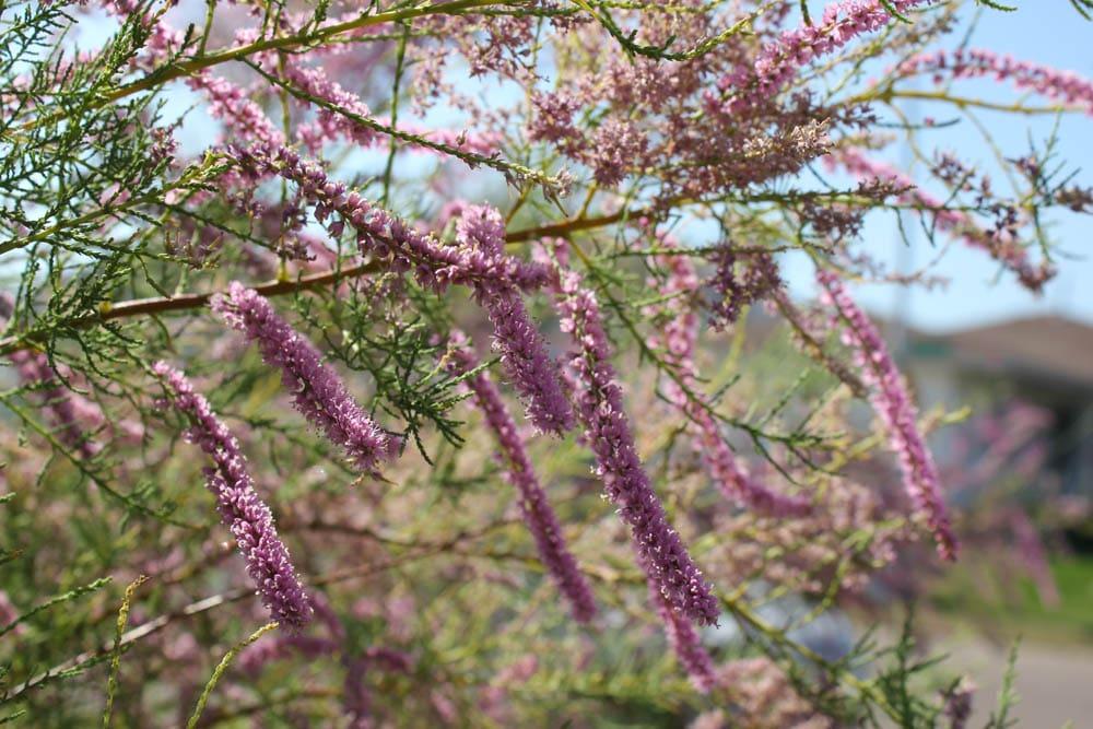 salt-cedar/salt-cedar-flowers-on-branch