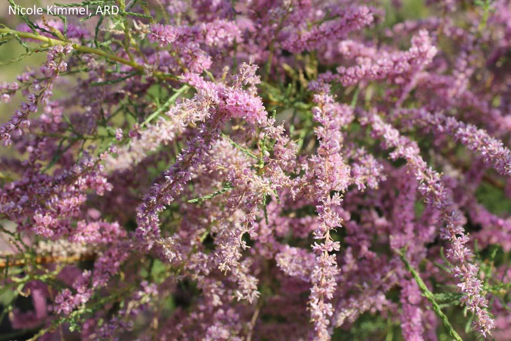 Salt Cedar blooms NK