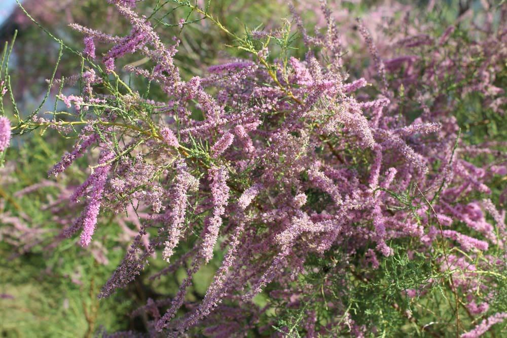Salt Cedar early Sept 2011 045