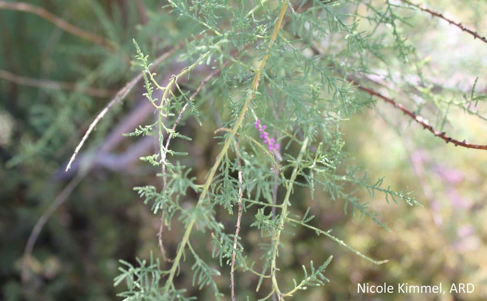 Salt Cedar leaves NK