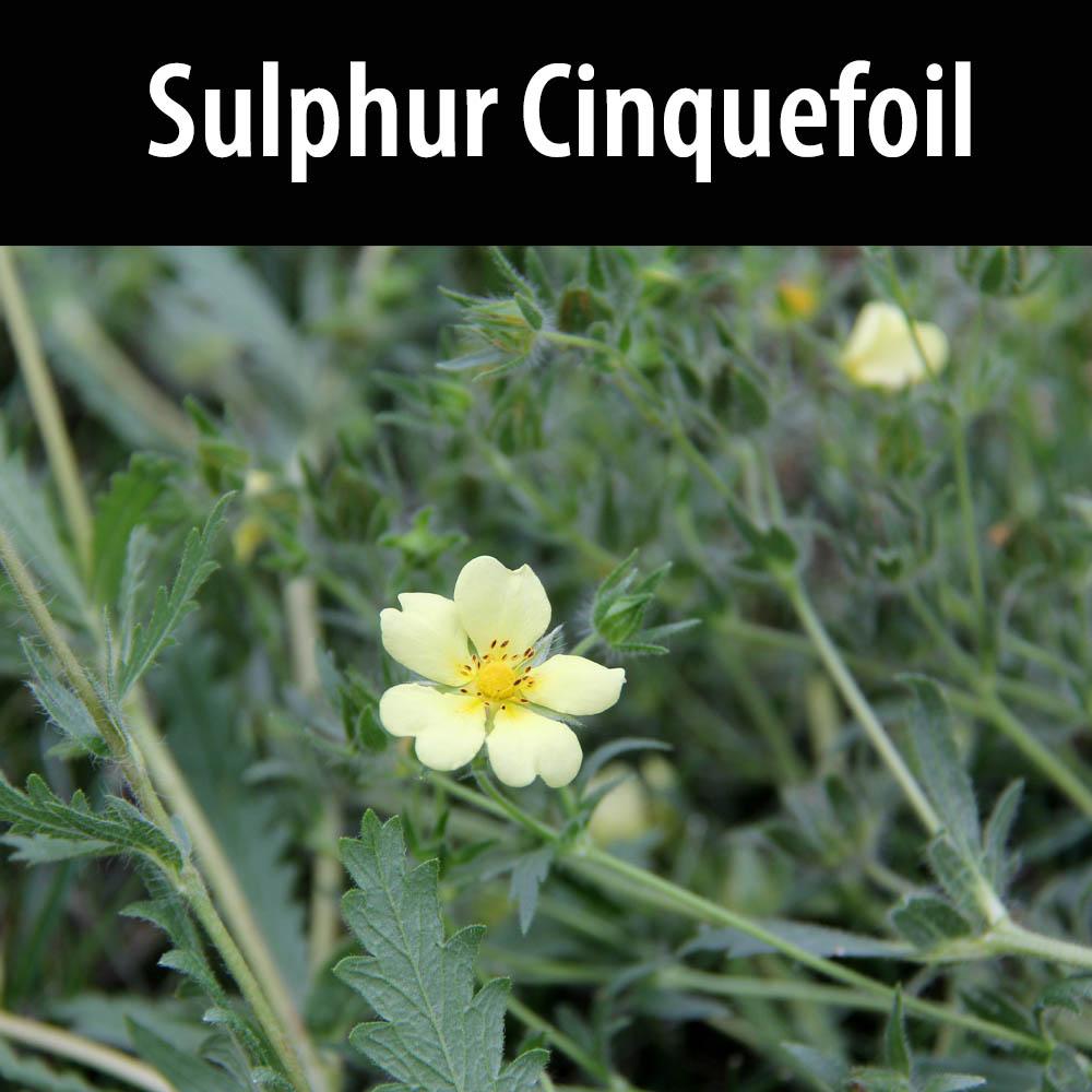 Sulphur Cinquefoil