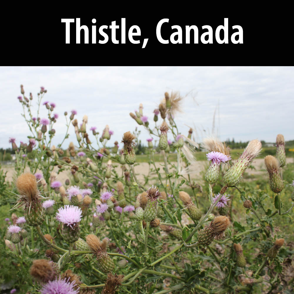 Thistle, Canada
