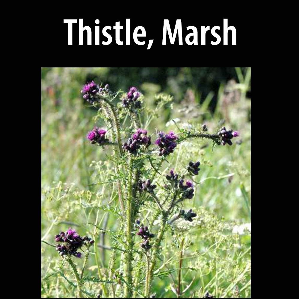 Thistle, Marsh