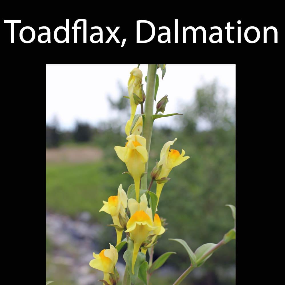Toadflax, Dalmation