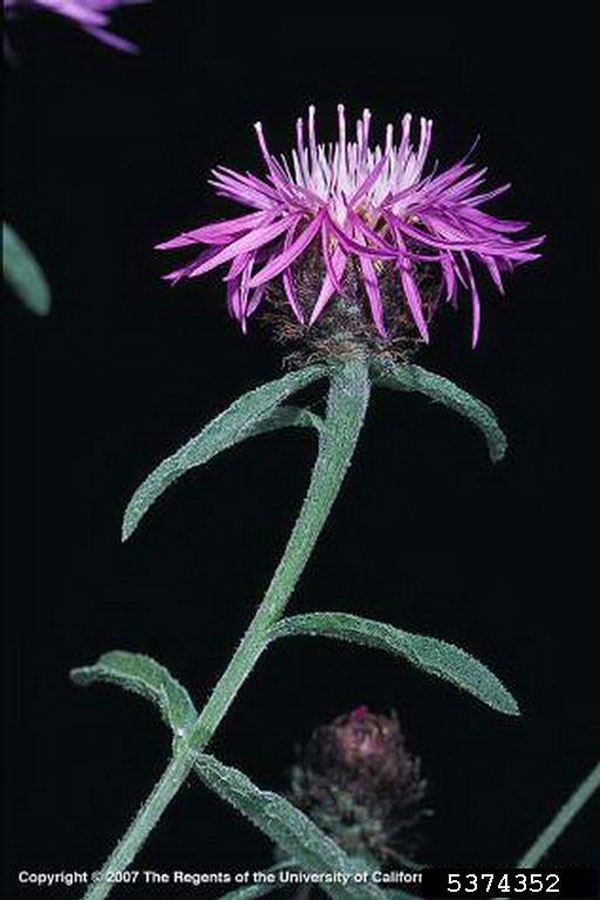 Tyrol Knapweed Flower Joseph M. DiTomaso, University of California - Davis, Bugwood.org